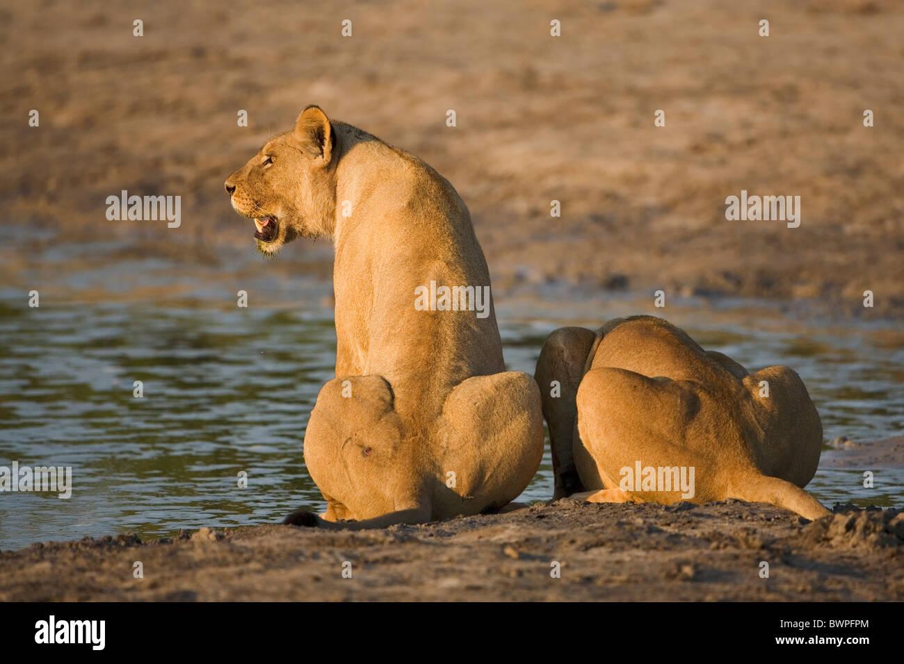 Loewe lion Panthera leo Stock Photo