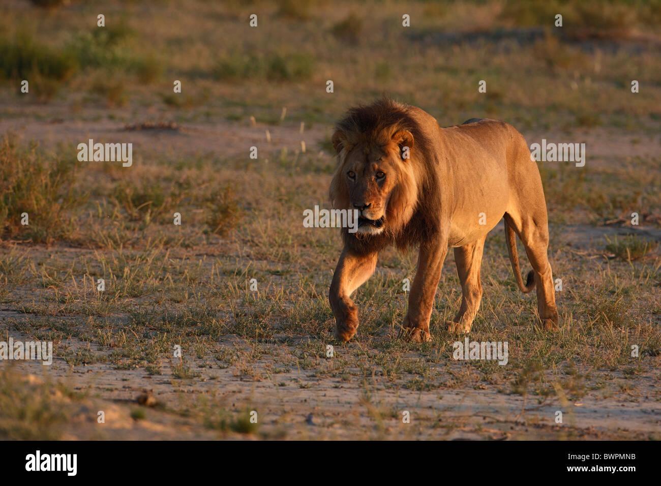 Loewe lion Panthera leo - Stock Image