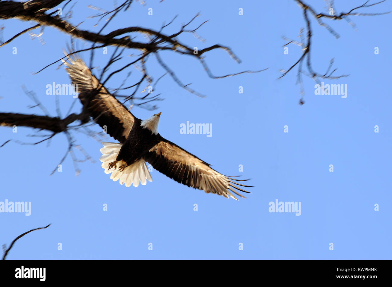 Bald eagle in flight over blue sky - Motion blur on wings - Stock Image