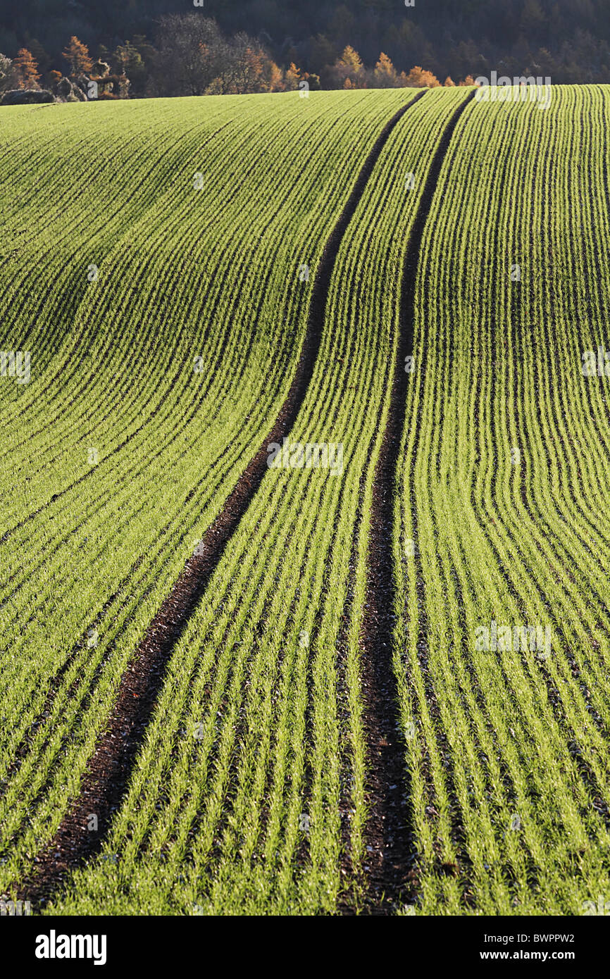Winter wheat downland tracks crop farming cereals cereal - Stock Image