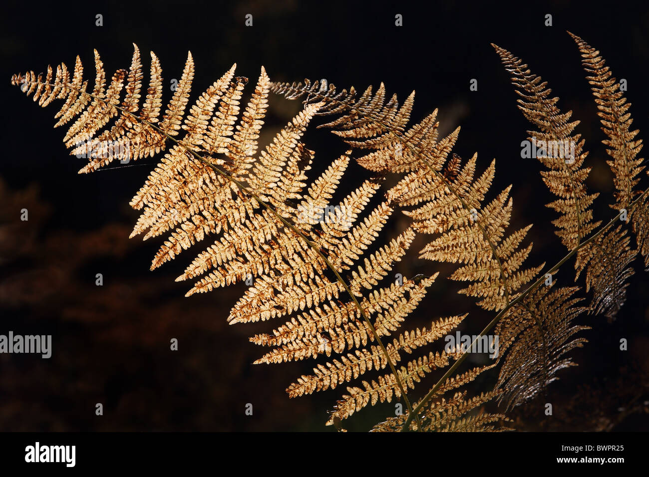 Autumn Fern golden frond - Stock Image