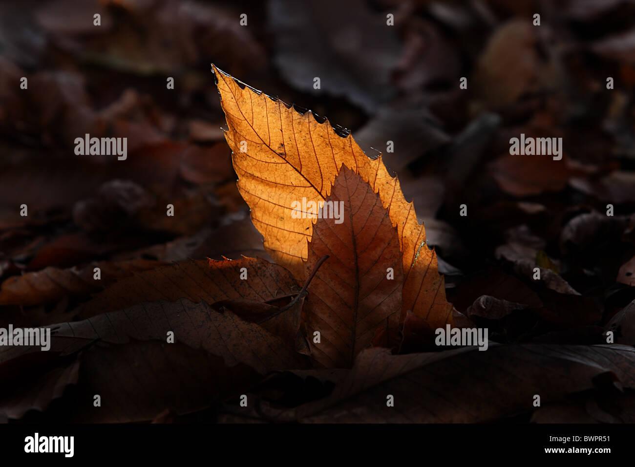 Autumn Leaf golden light fallen - Stock Image