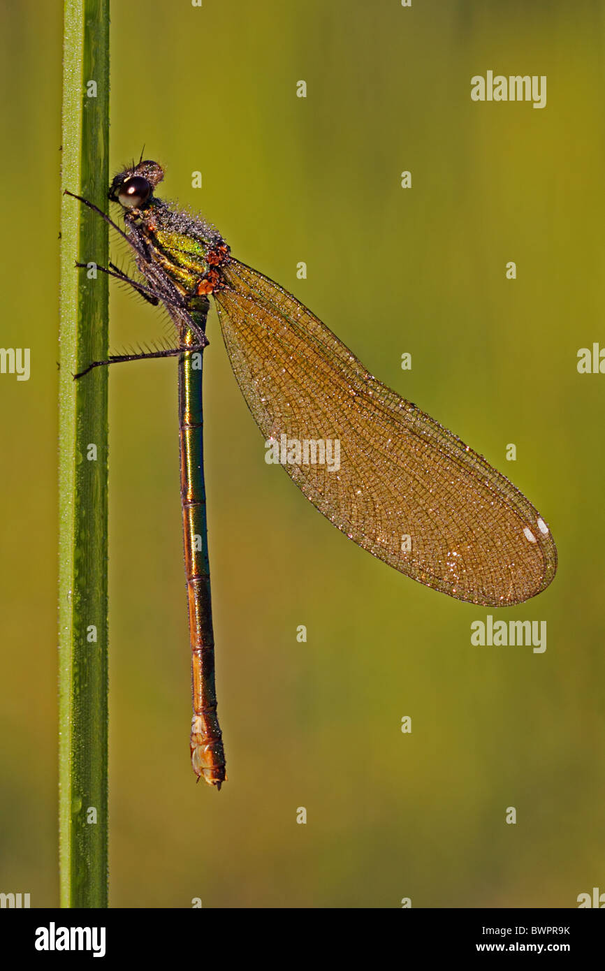 Banded demoiselle damselfly female Calopteryx splendens Stock Photo