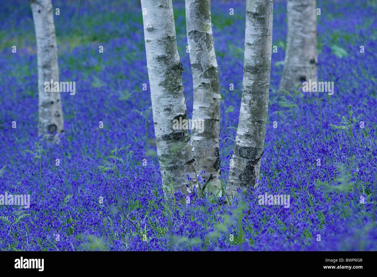Bluebells bluebell wood silver birch abstract fantasy - Stock Image