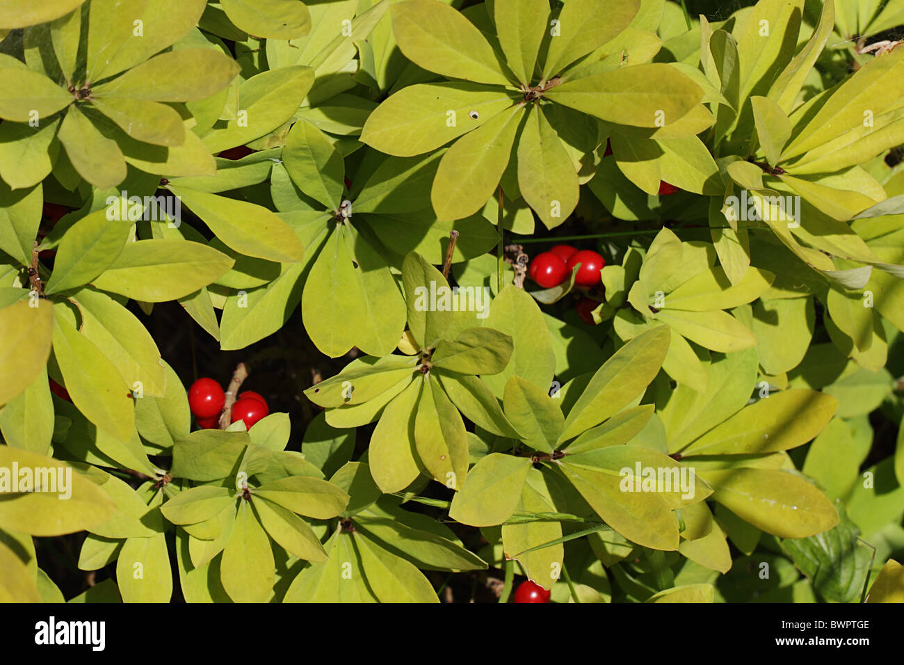 Wild Daphne shrub, spurge laurel, lady laurel, paradise plant, dwarf bay, laureola, caucasica - Stock Image