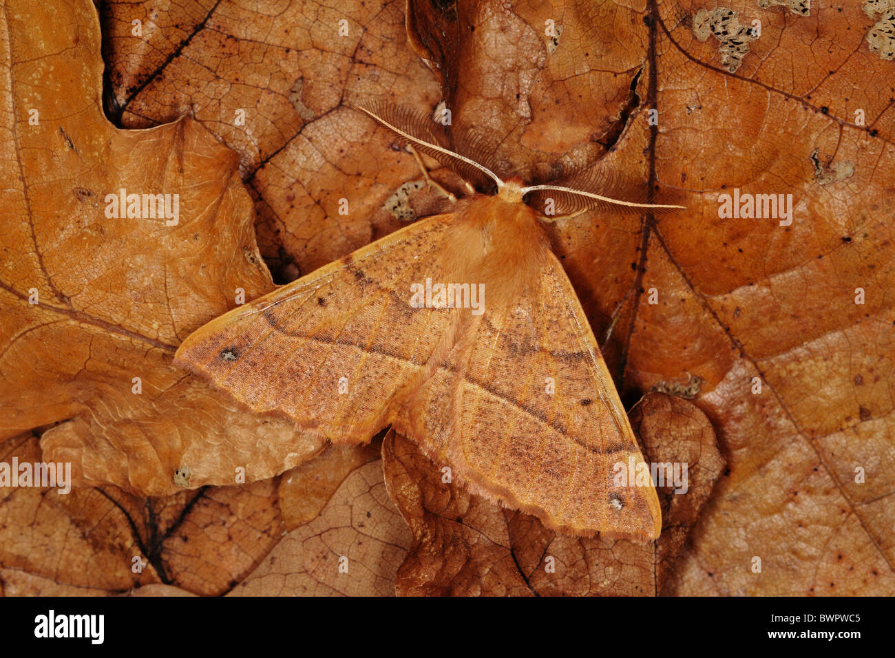 Feathered Thorn moth Colotois pennaria camouflage insect - Stock Image