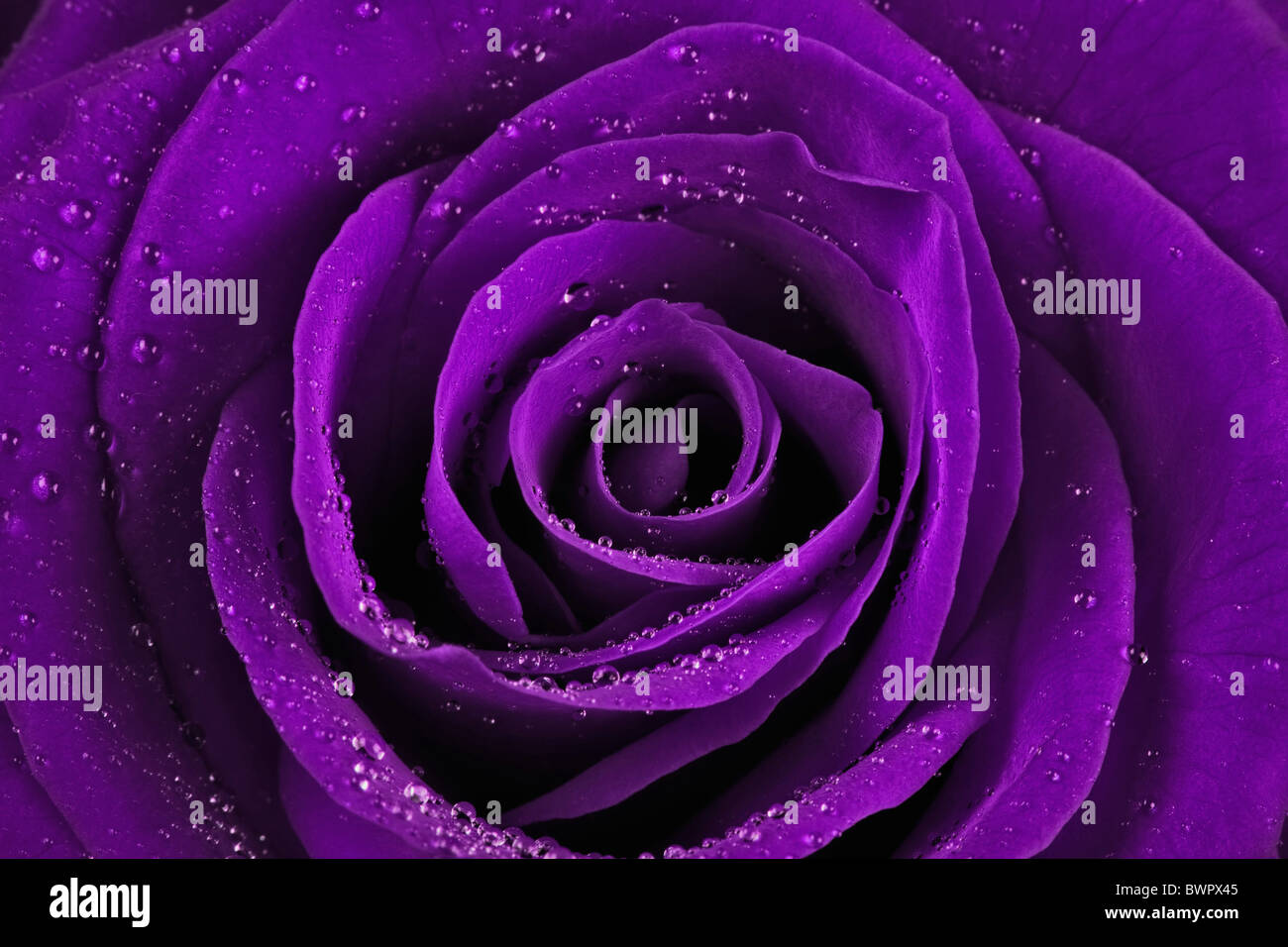 Rose Beauty Botany Close up Close-up Delicate Detail Extreme close up Elegance Flora Flower Flowers Fragil Stock Photo