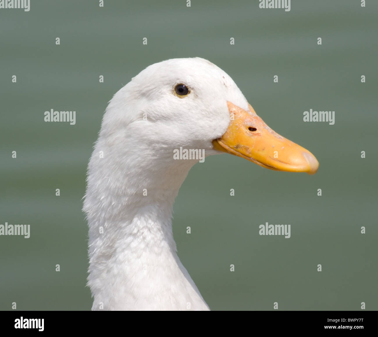 Head shot of a white duck near a lake - Stock Image