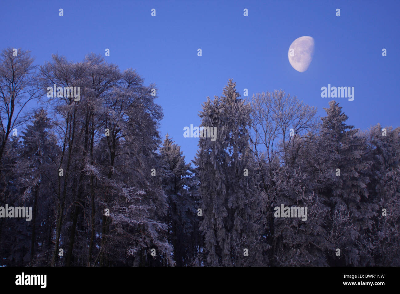 forest winter moonshine moon Switzerland Europe nature trees tree snow blue sky dusk dawn morning evenin - Stock Image