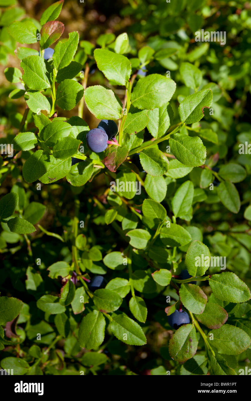 Ripe blueberries ( Vaccinium myrtillus ) - Stock Image