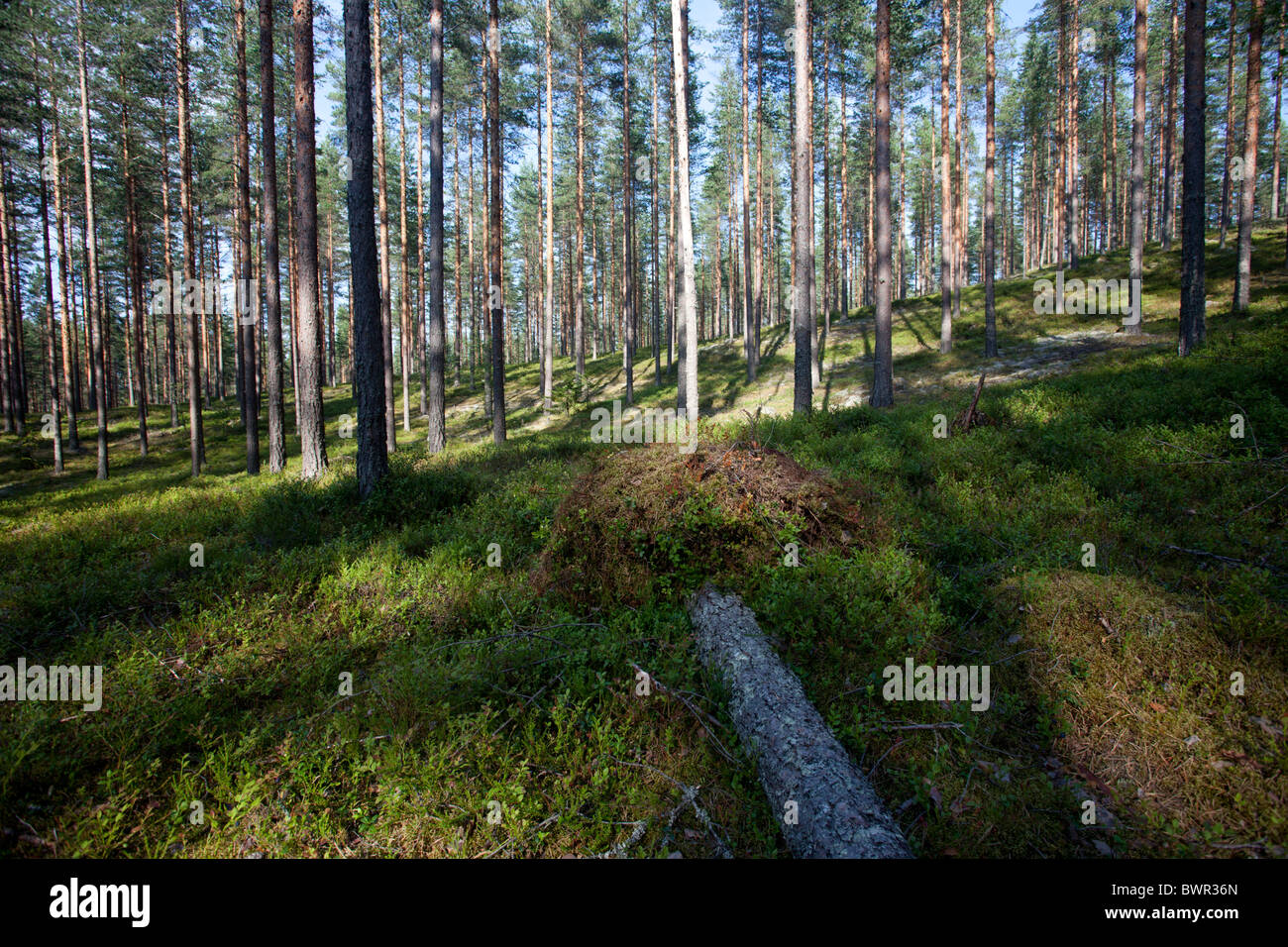 Pine ( pinus sylvestris ) forest growing at dry esker , Finland - Stock Image