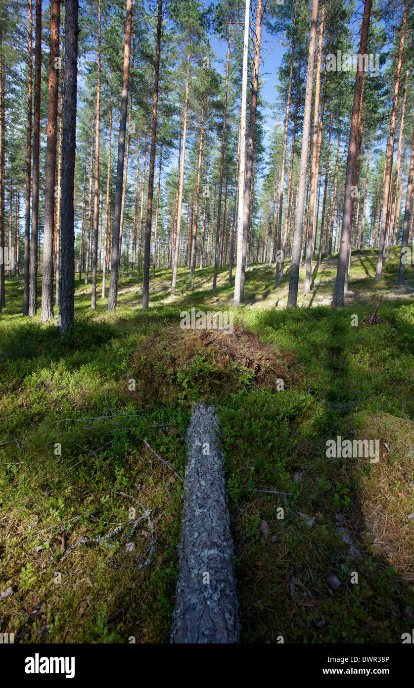 Finnish pine ( pinus sylvestris ) forest growing in dry esker , Finland - Stock Image