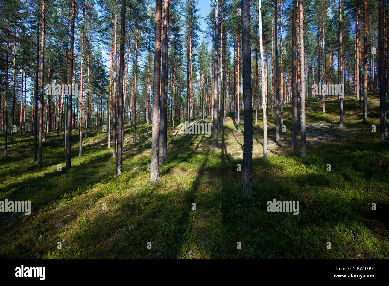 Pine ( pinus sylvestris ) forest growing at dry glacial esker , Finland - Stock Image