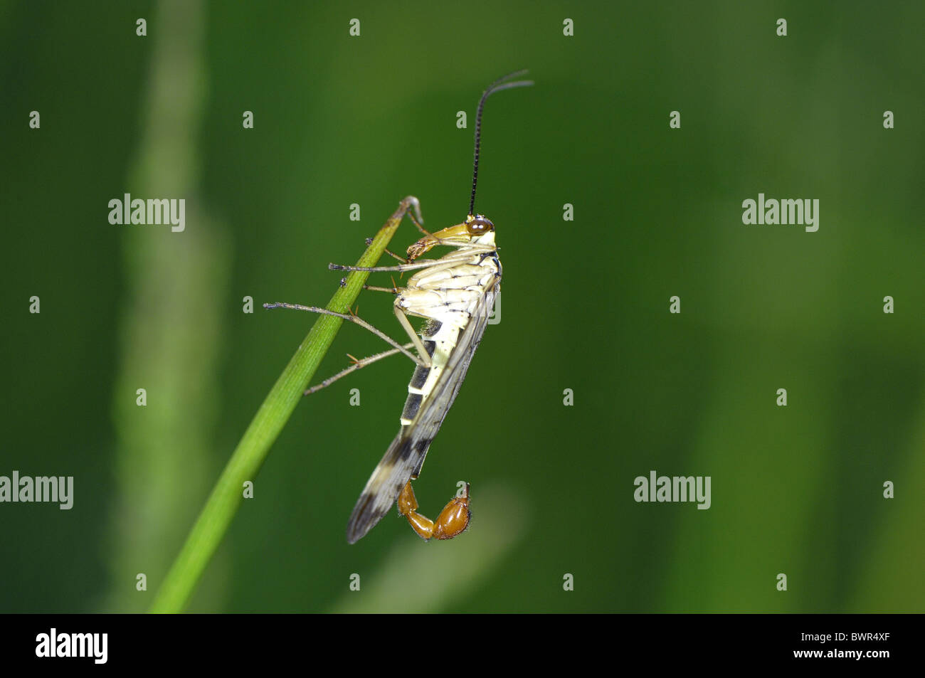 Common scorpionfly (Panorpa communis) male on grass at spring Stock Photo