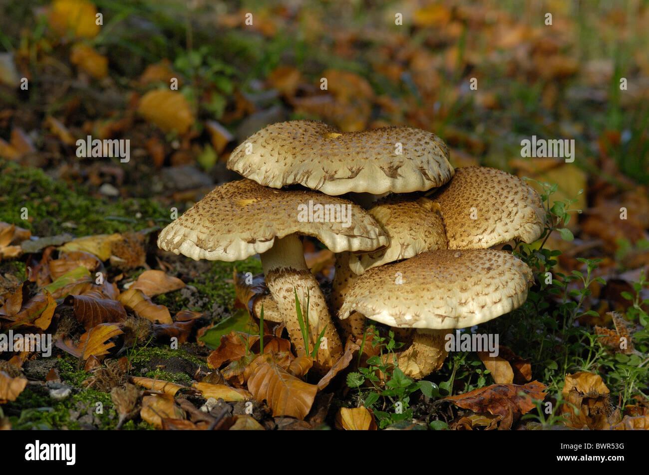 Shaggy scalycap - Shaggy Pholiota - Scaly Pholiota (Pholiota squarrosa) in autumn - Belgium - Stock Image