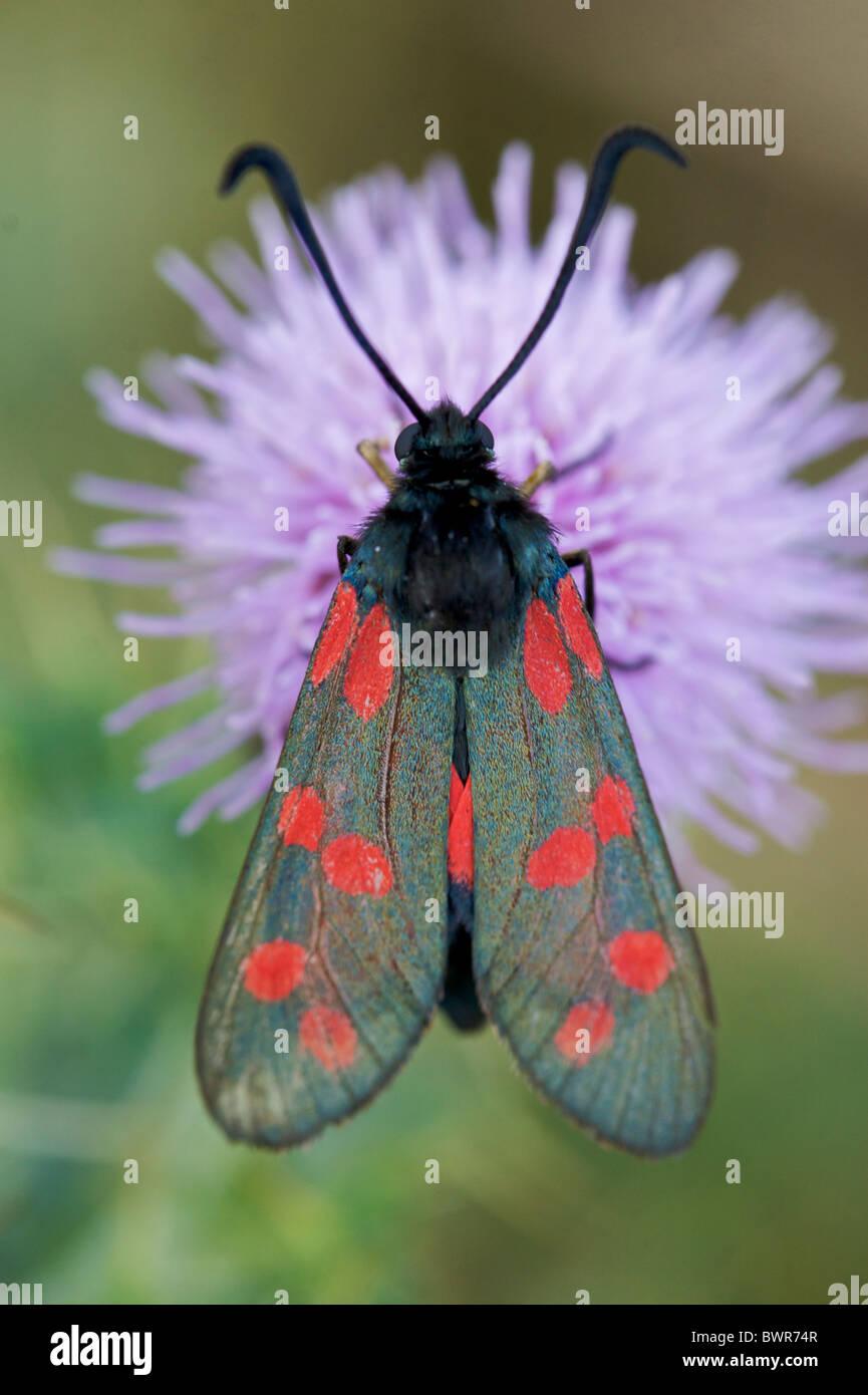 six spotted burnett moth - Stock Image