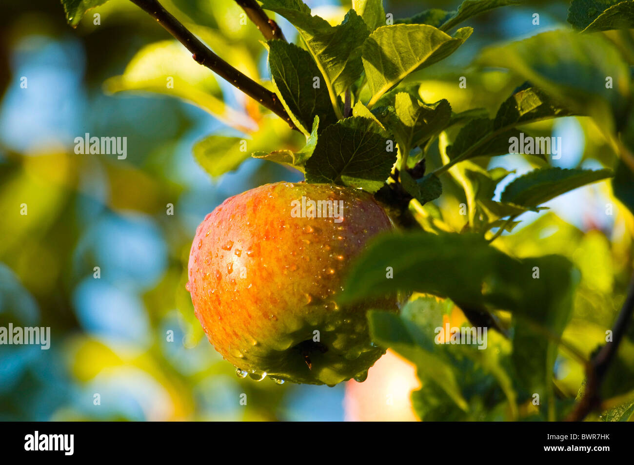 Juicy apple ready for picking - Stock Image