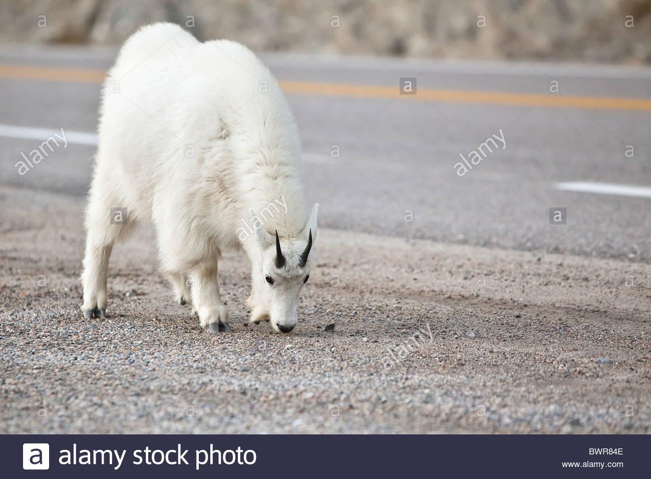 Mountain Goats licking roadside salt Stock Photo
