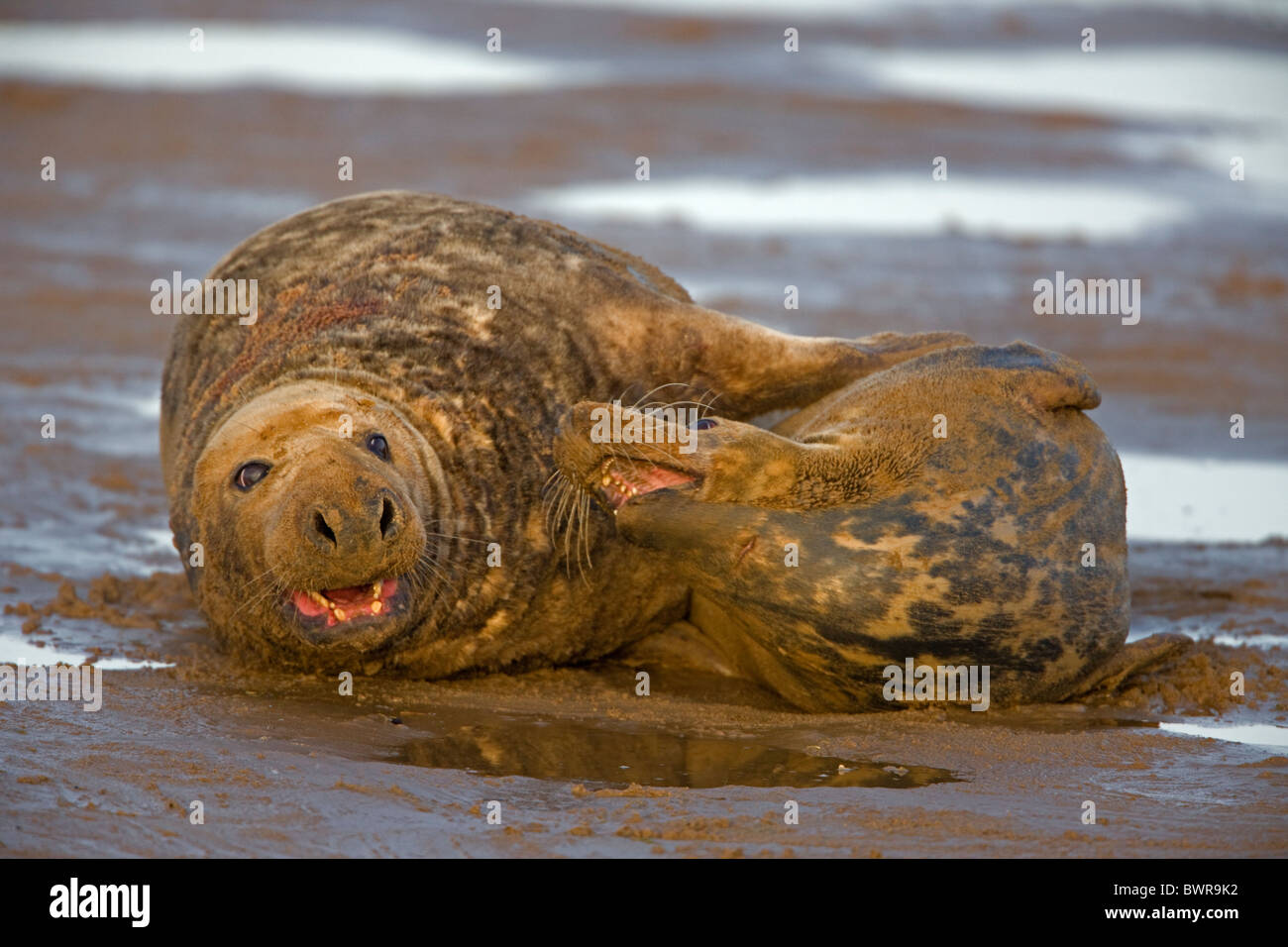 Grey Seal (Halichoerus grypus) - UK - Male and female mating on beach  Stock Photo