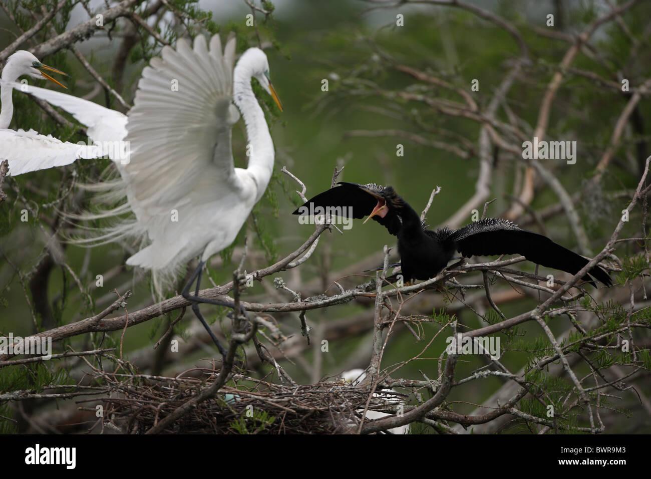 Great Egret (Casmerodius albus) - Louisiana - USA - with anhinga - Stock Image