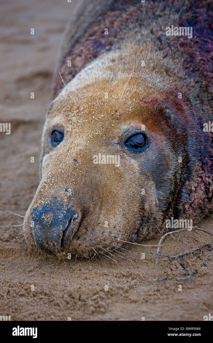 Grey Seal (Halichoerus grypus) - Male portrait - Showing wounds from territorial fight during mating season - UK - Stock Image