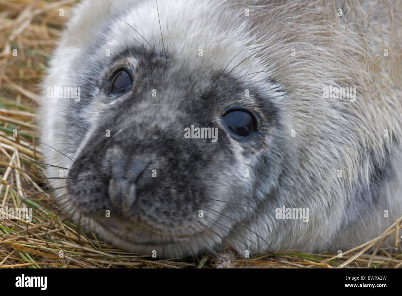 Grey Seal (Halichoerus grypus) - Pup portrait - UK - Stock Image