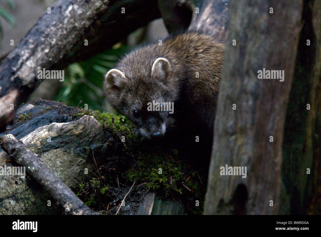 Fisher Martes pennanti Marten one 1 Animal Animals Wilderness Wildlife Fauna Nature Wood North America - Stock Image