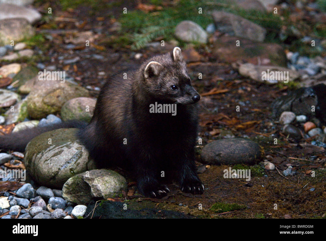 Fisher Martes pennanti Marten one 1 Animal Animals Wilderness Wildlife Fauna Nature Stones North America - Stock Image