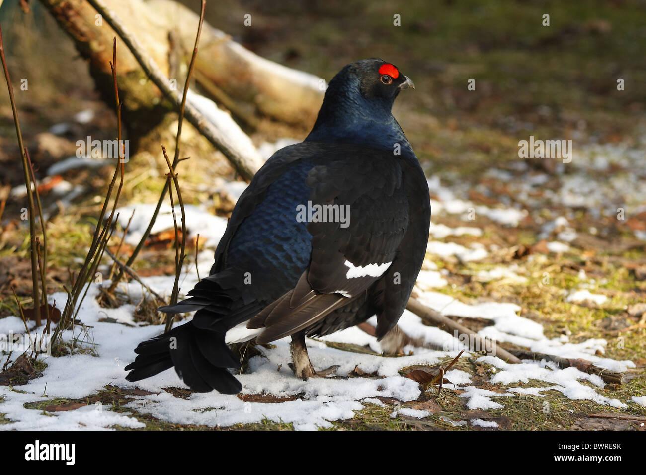 Black Grouse Blackgame Tetrao tetrix Lyrurus tetrix Germany Europe Bavaria Bavarian Forest male bird winter - Stock Image