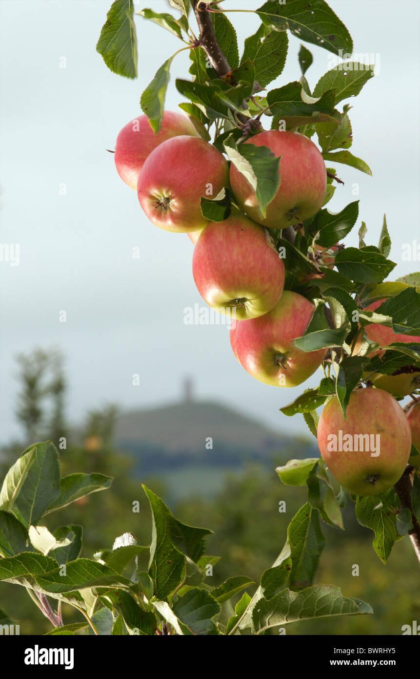 Apple orchard, Somerset, UK - Stock Image