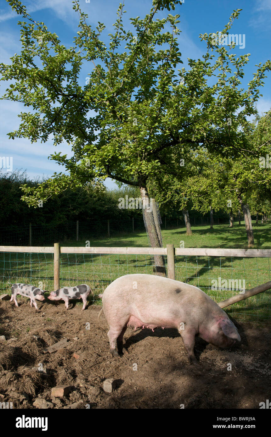 Gloucester Old Spot pigs in apple orchard, Somerset, UK - Stock Image