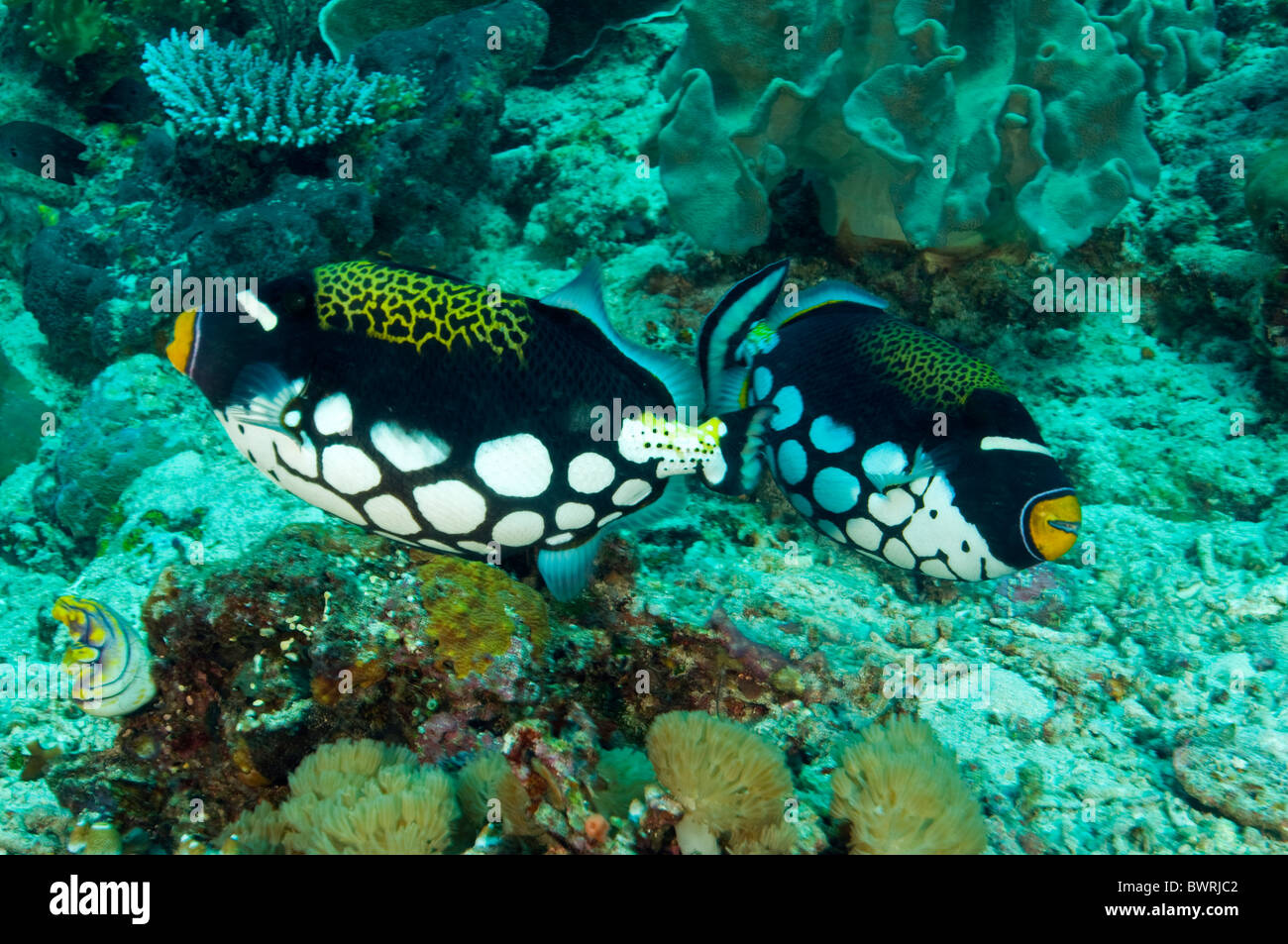 Clown triggerfishes, Blistoides conspicillum, Raja Ampat Indonesia - Stock Image