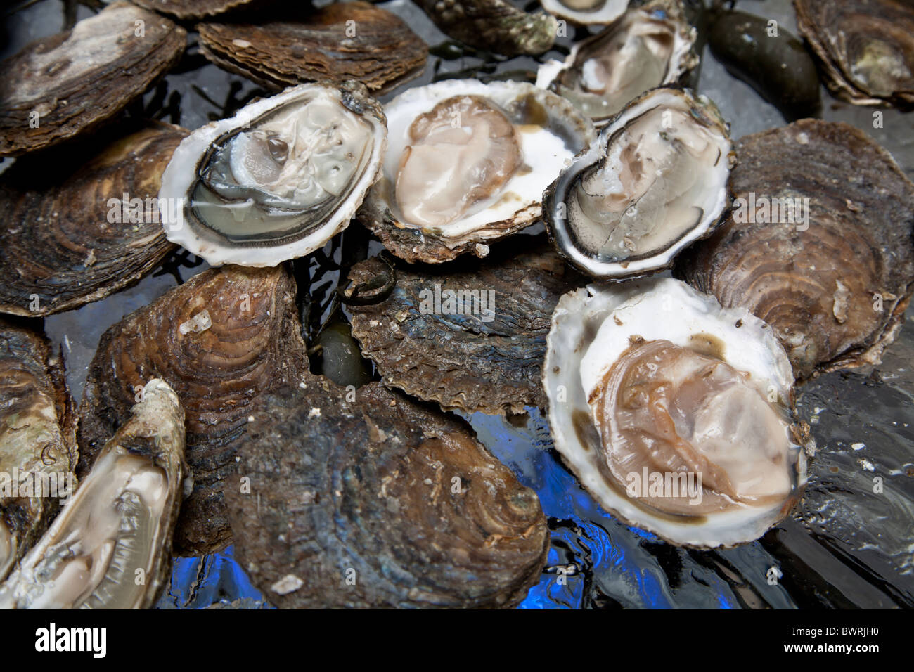 Fresh oysters are laid out on the ice. - Stock Image