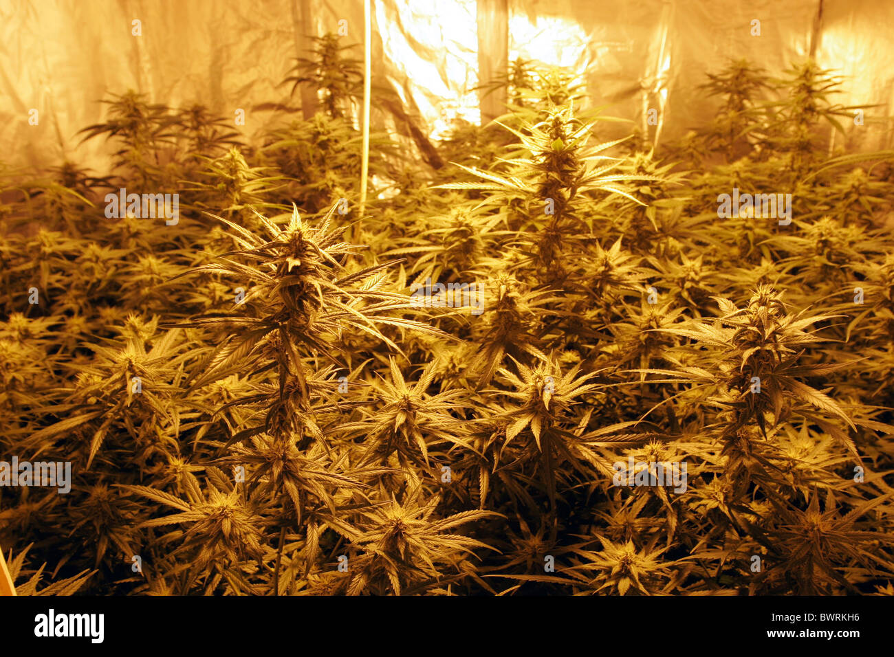 iIIegal cannabis growing in the united kingdom - Stock Image
