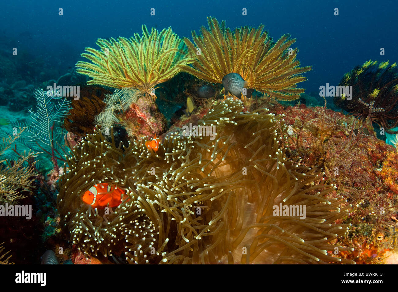Coral reef scene and spine cheek anemonefishes, Raja Ampat Indonesia - Stock Image