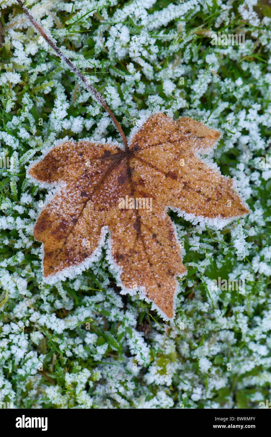 A single maple leaf covered in frost - Stock Image