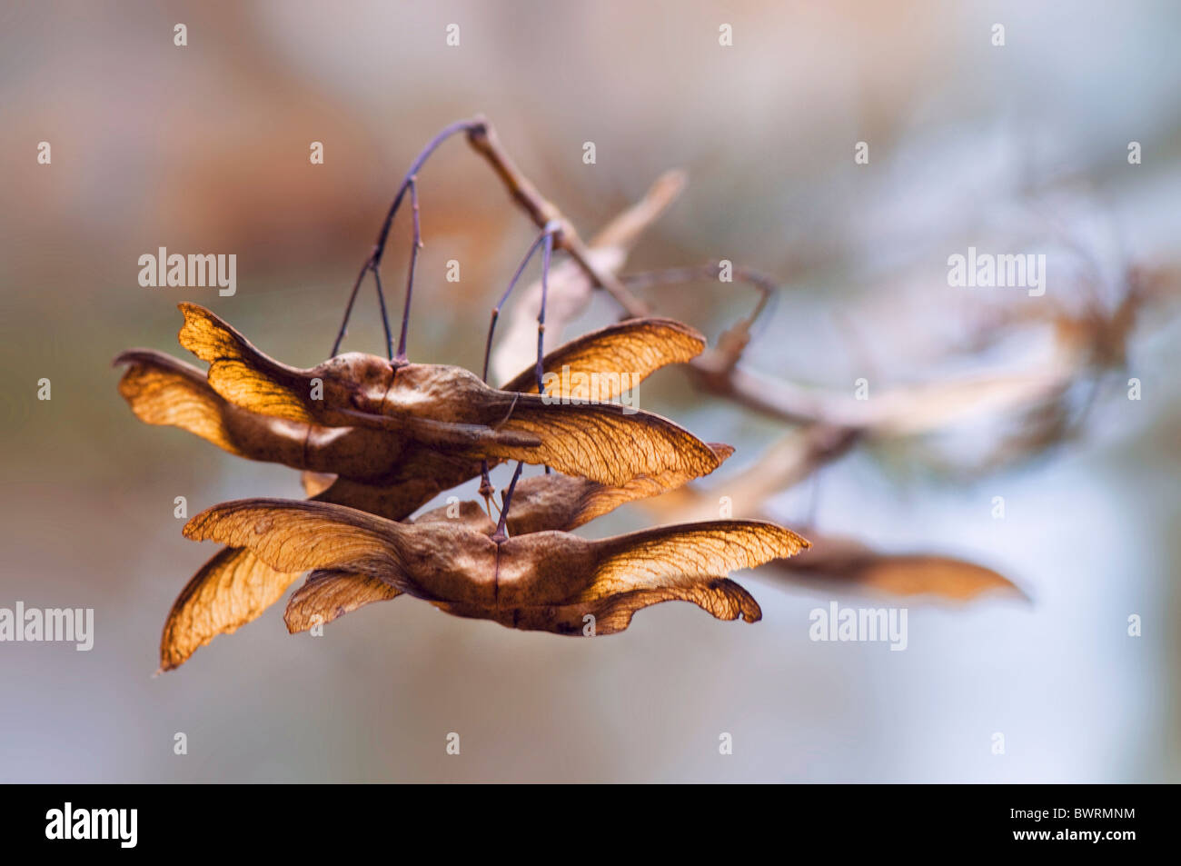Winged maple seeds in autumn - Stock Image