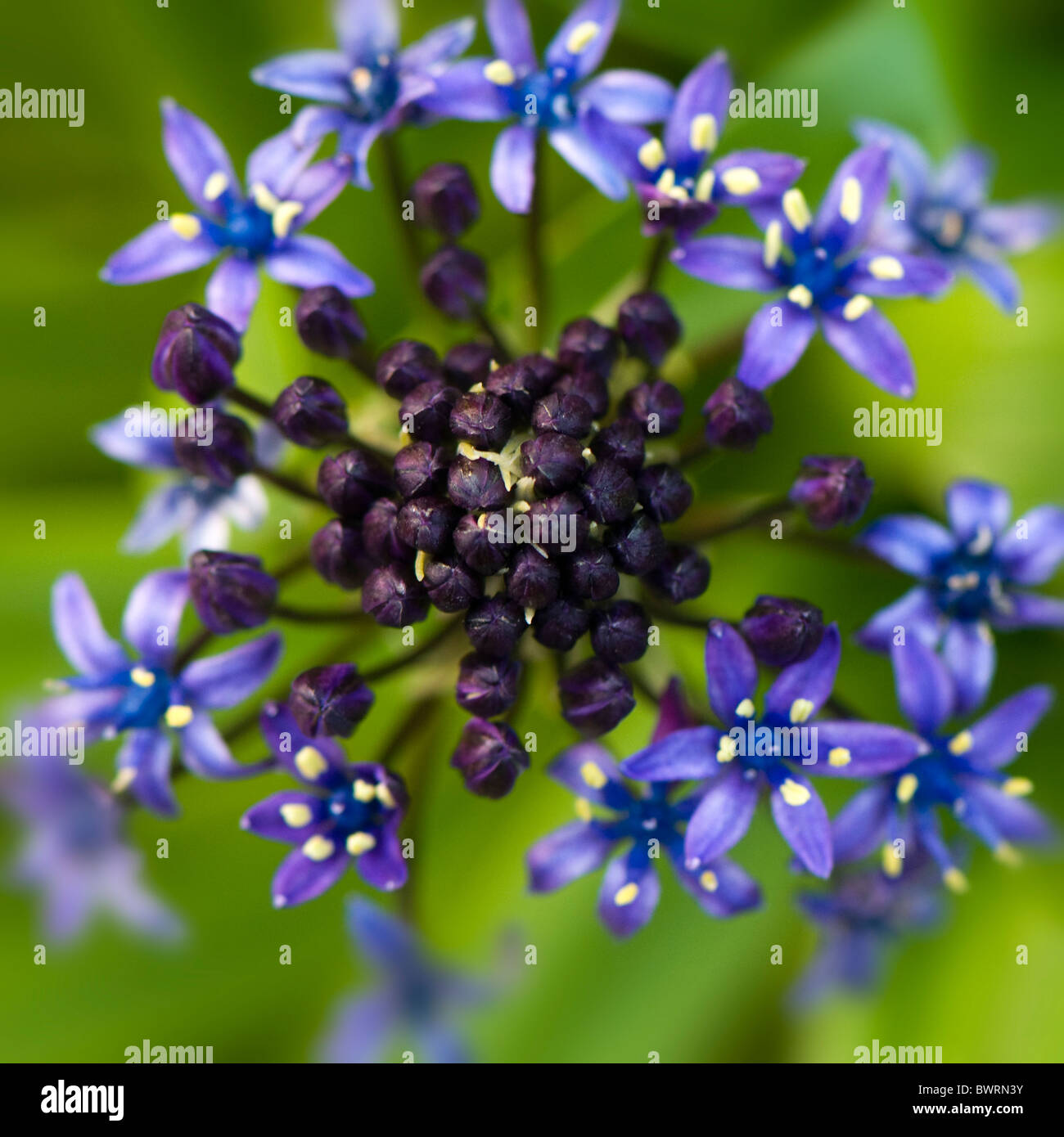 A single flower head of Scilla peruviana - Cuban Lily  or Portuguese peruvian Squill Stock Photo