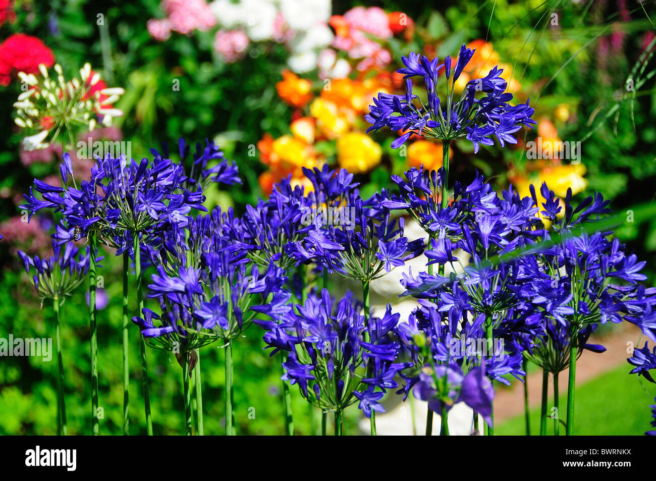 Agapanthus or African blue lily in bloom. Dorset, UK August 2010 - Stock Image