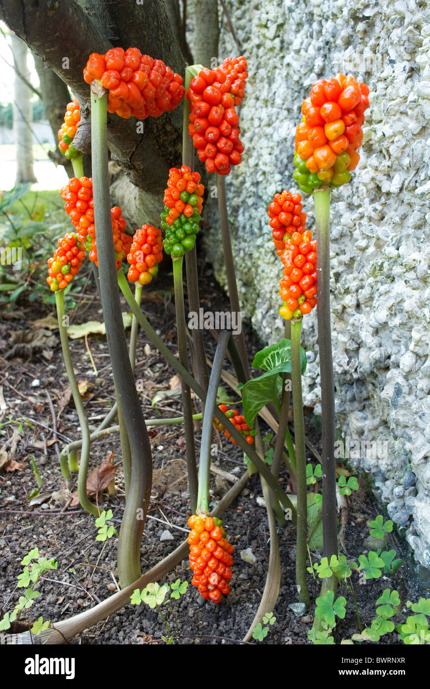 Italian Arum or Lords and Ladies or orange candleflower. Poisonous! - Stock Image