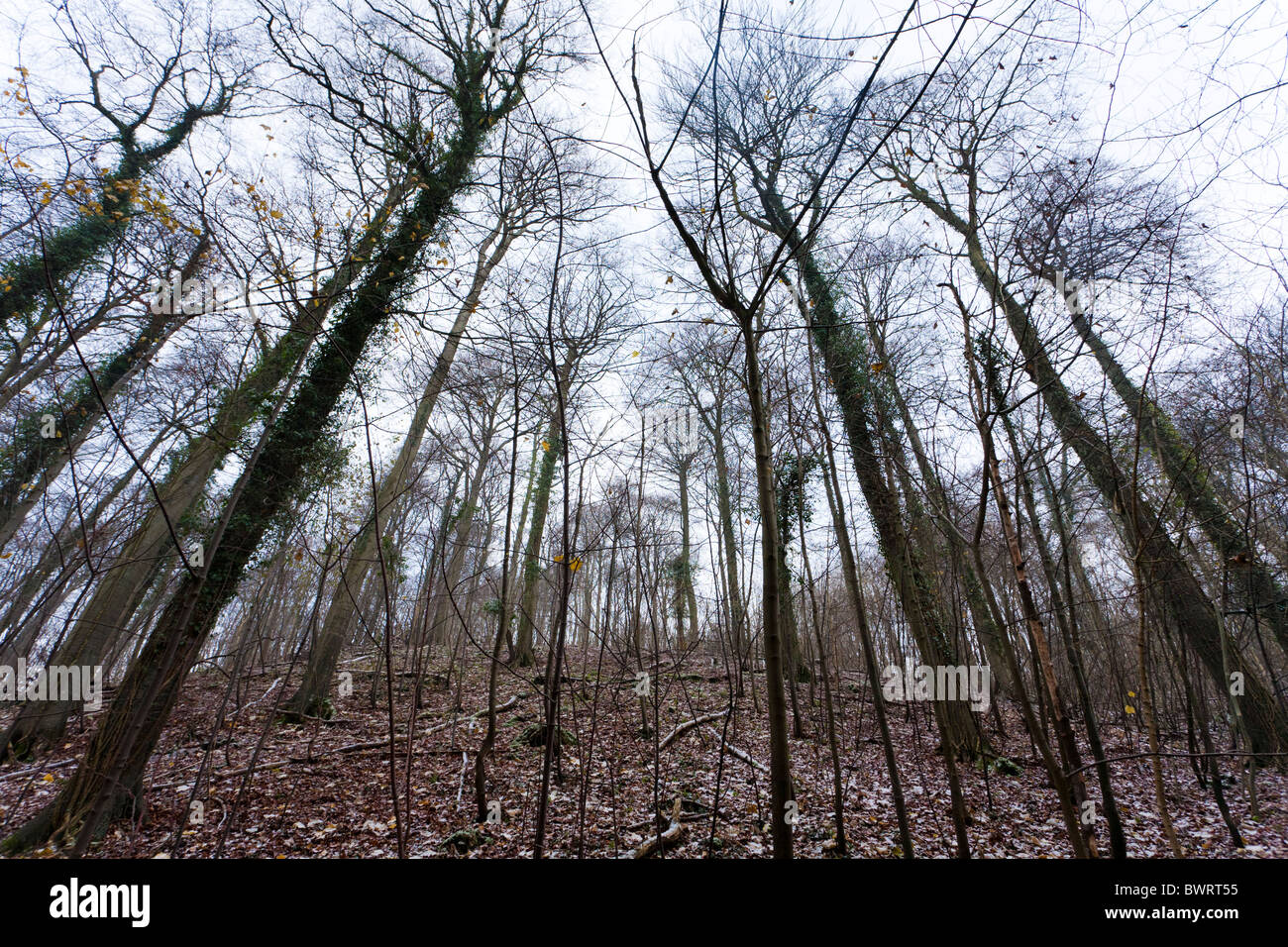 A Cotswold beechwood in winter, Popes Wood, near Cranham, Gloucestershire - Stock Image