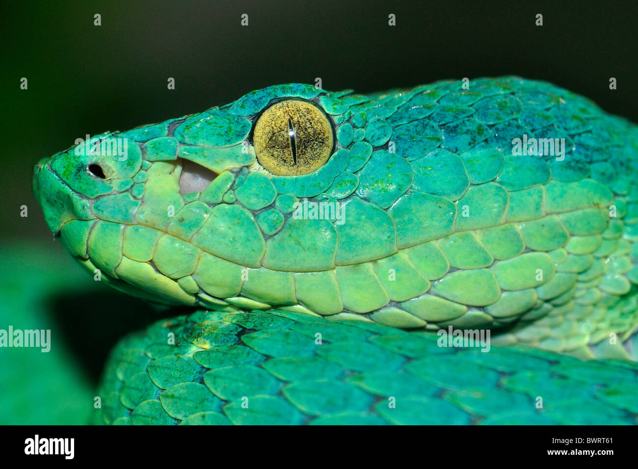 Side-striped palm pitviper (Bothriechis lateralis) this species is found in mountain areas of Costa Rica and Panama. - Stock Image
