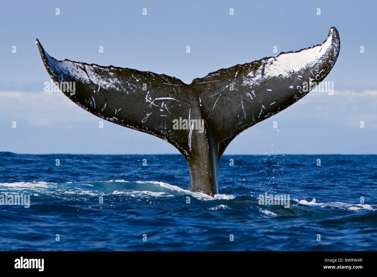 Humpback Whale Lobtailing or Tail Slapping Stock Photo