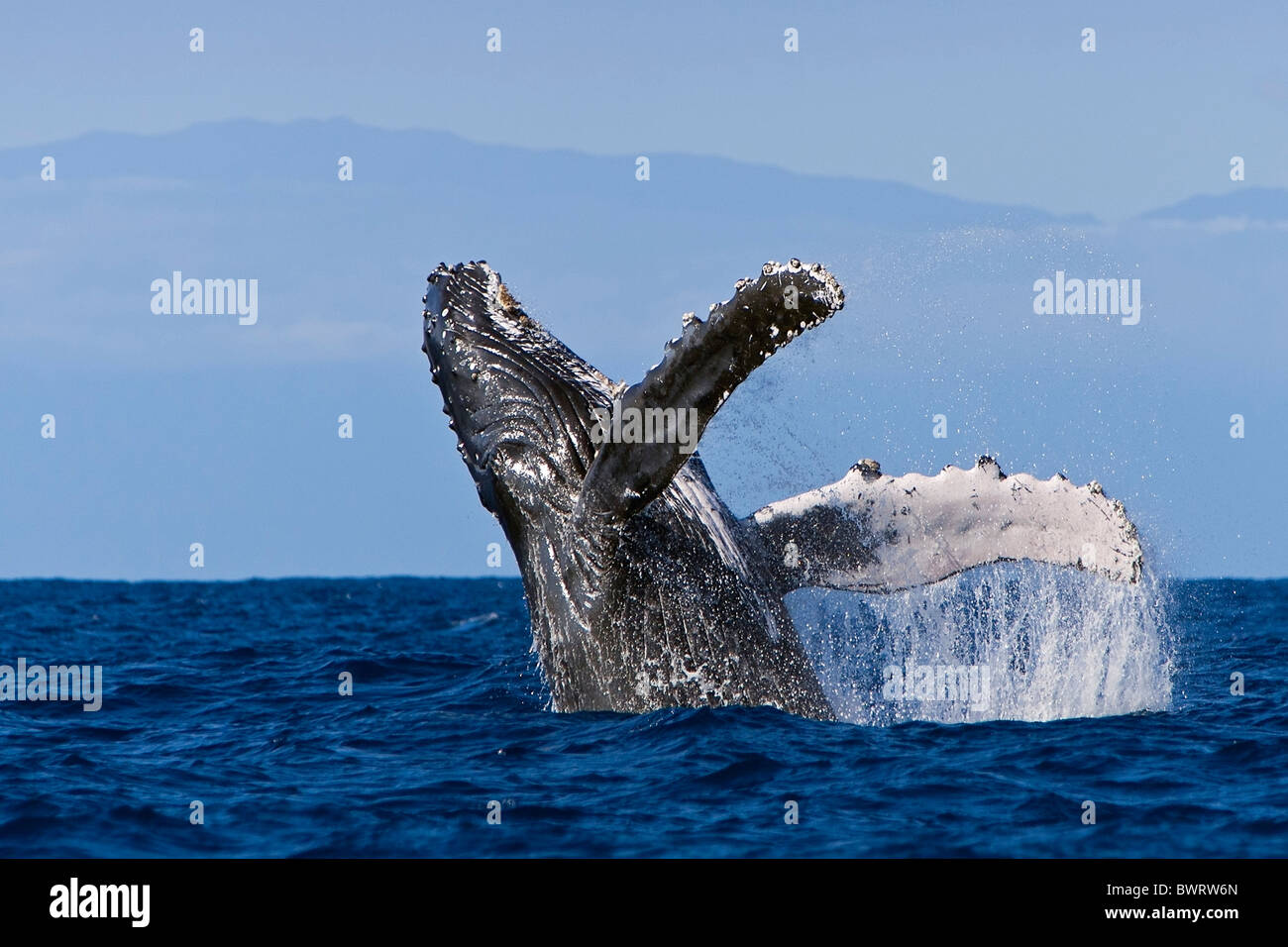 Humpback Whale Breaching - Stock Image