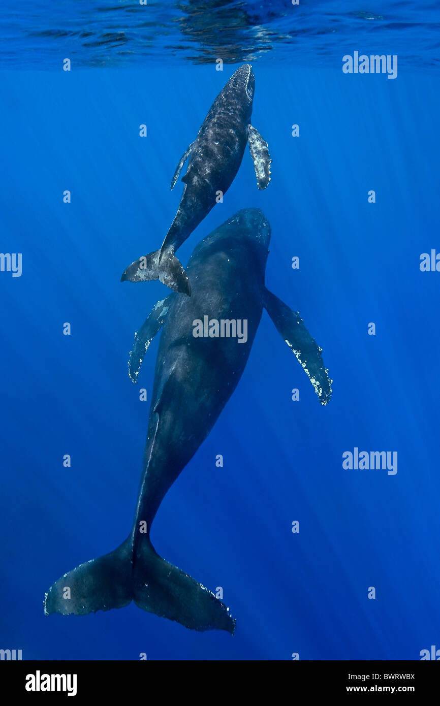 Humpback Whale Mother and Calf surfacing for air - Stock Image