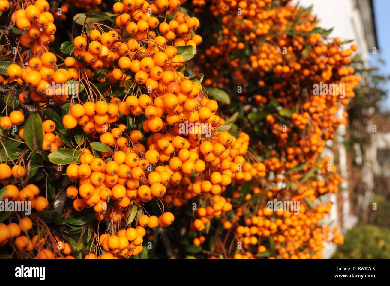 Bright Orange Berries Of The Pyracantha Bush During November