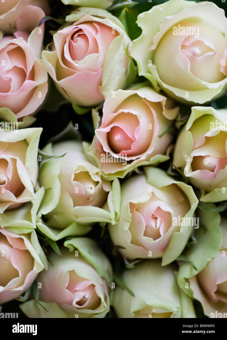 Close-up of a bunch of pink and white roses - Stock Image