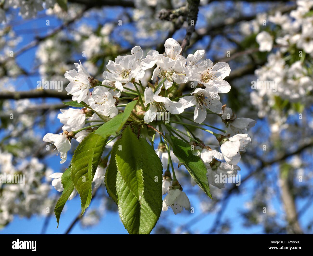 Cherry tree in full bloom. - Stock Image