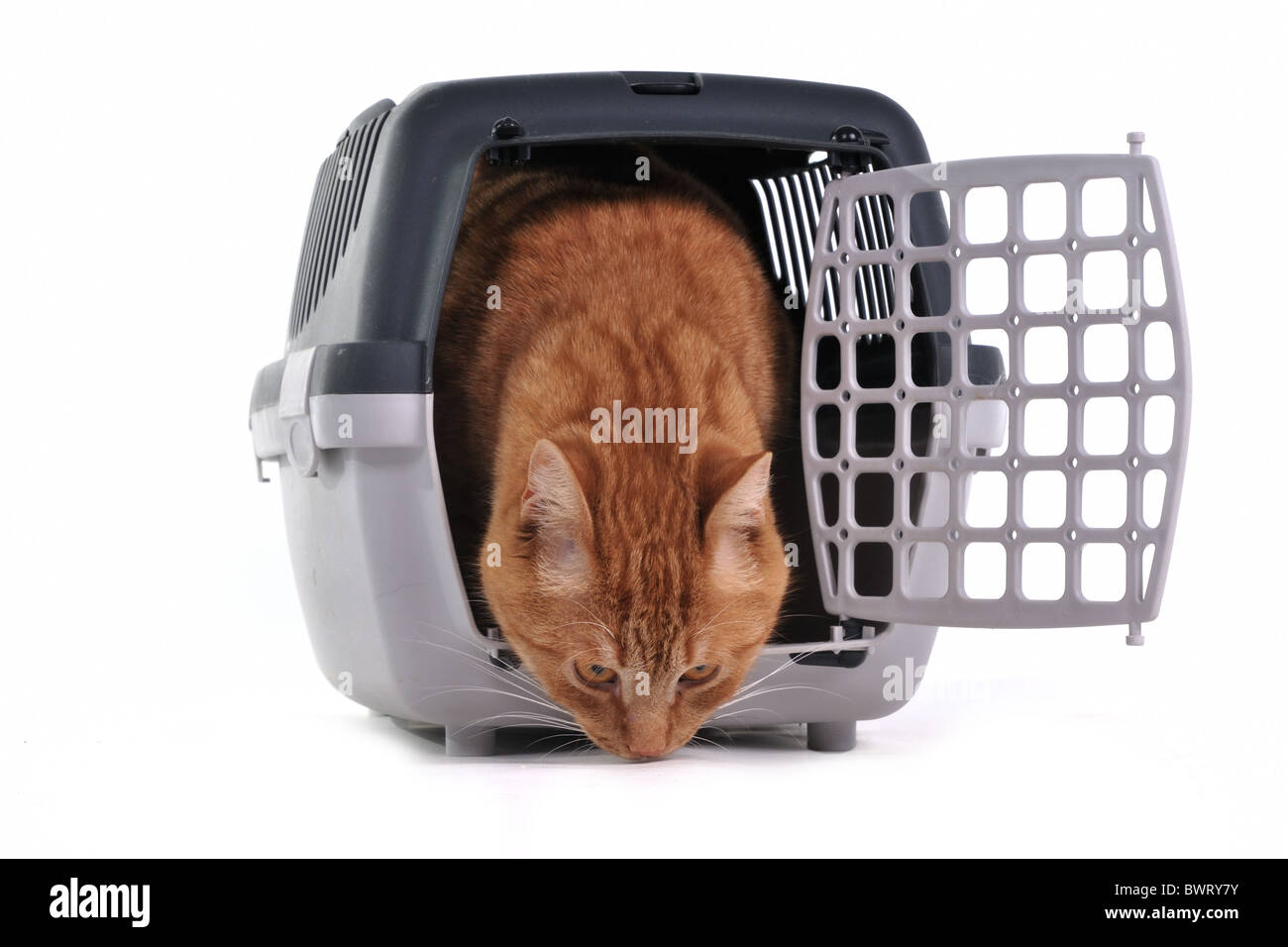 Red Kitten Exploring His New Place - Stock Image