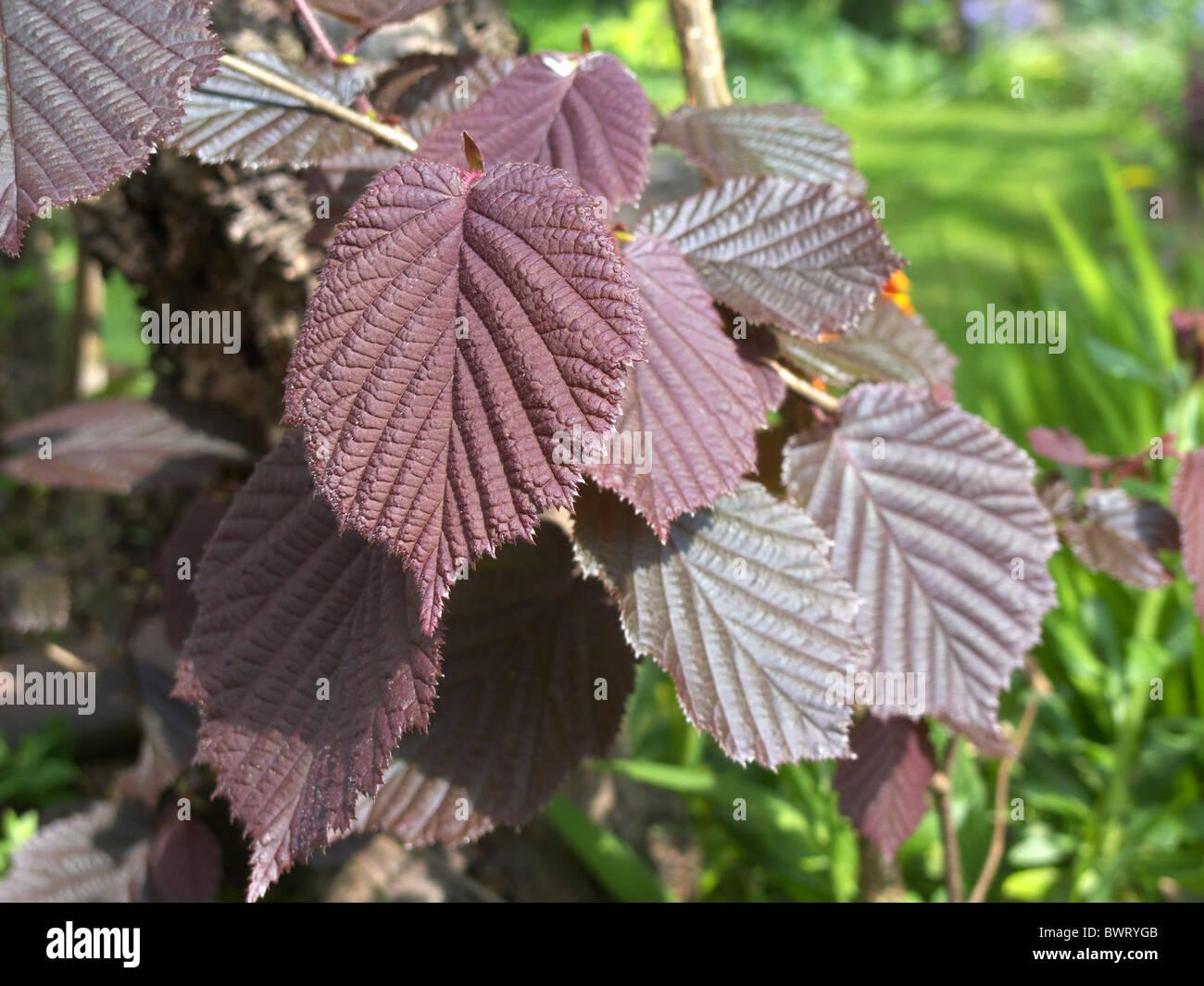 Corylus maxima 'Purpurea' Cultivar. Hazel Tree Family Stock Photo
